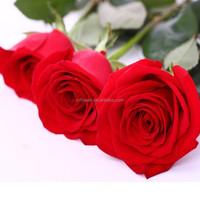 A Grade Love red Rose Flower Big Bud Rose Flower Wide Varieties