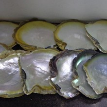 Cheap price raw yellow sea shell rough for sale in stock
