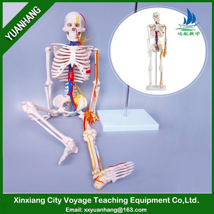 Kunststoff Menschlichen Simulation Skeleton Modell 85 Cm Mit Herz ...