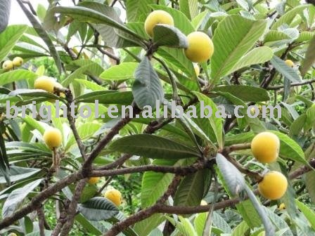 High quality Loquat leaf extract