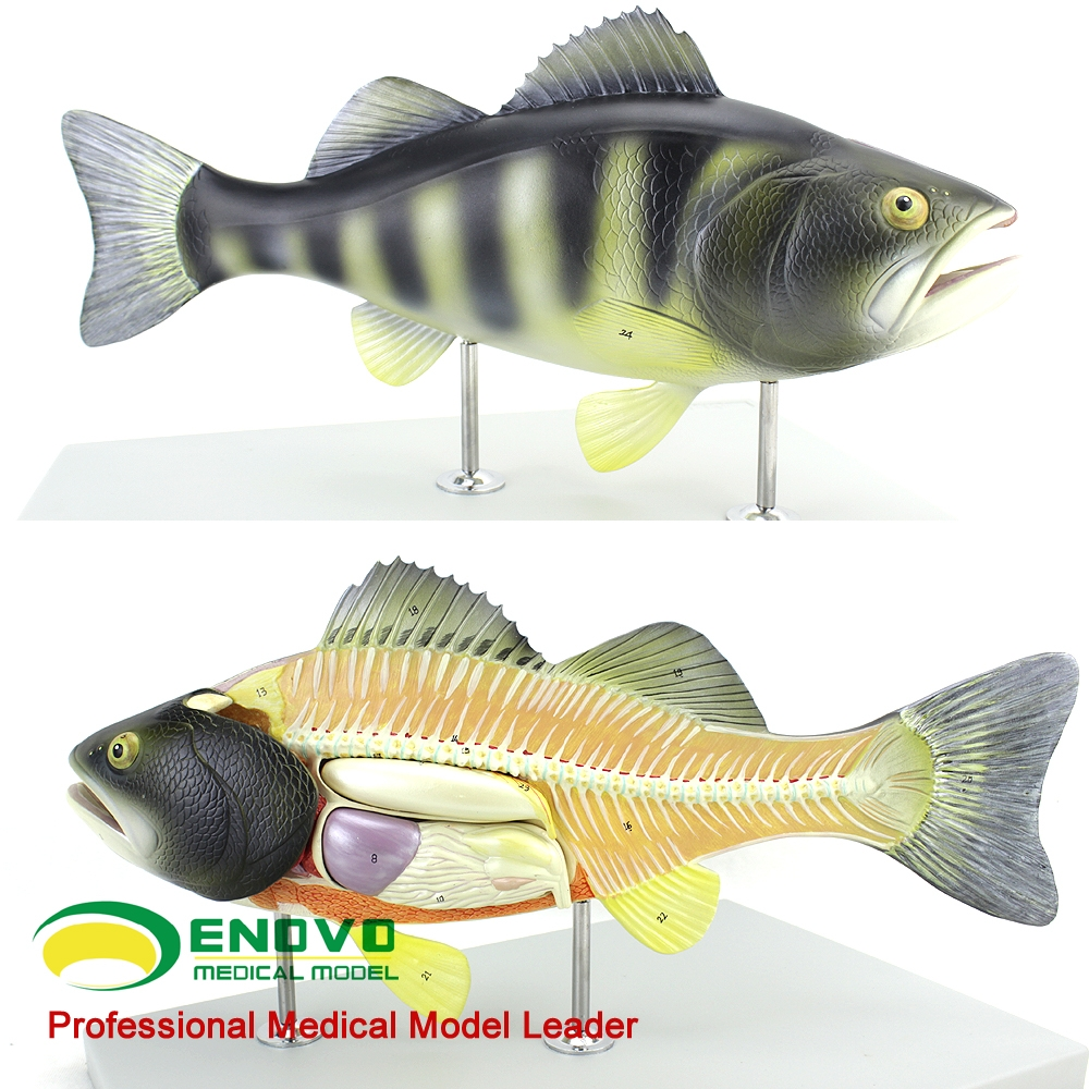 Fish Anatomy Model, Fish Anatomy Model Suppliers and Manufacturers ...