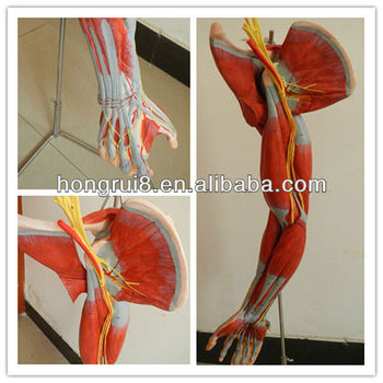 Iso Vivid Anatomical Model Of Arm Muscles With Main Vessels And ...