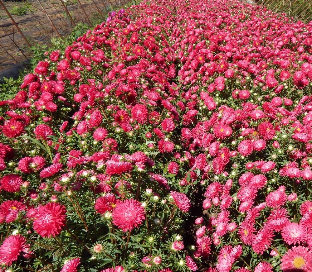 Heirloom Callistephus Chinensis China Aster Red Ribbon Rose Flower