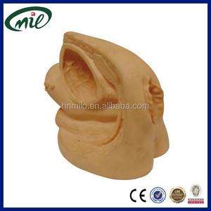 Human genital model / plastic Female genital organs model