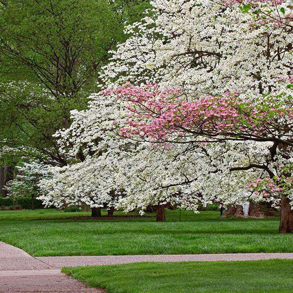 The Dogwood Flower The Dogwood Flower Suppliers And Manufacturers