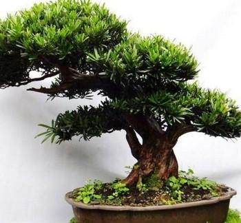 China Natural Plant Podocarpus Macrophyllus Mini Bonsai Tree Buy China Natural Plant Podocarpus Macrophyllus Mini Bonsai Tree Landscaping Podocarpus