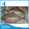 Hot selling fresh Frozen Black Pomfret Fish from China for sale