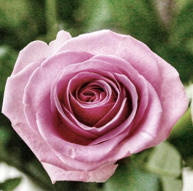 картинки розы от саши связано