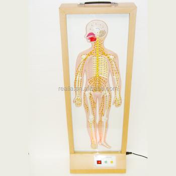 Hml-bd-291 Elektro Ganzen Körper Peripheren Nerven Modell Rückenmark ...