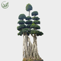 Big Size Bonsai Ficus Microcarpa Tree, Live Plants, Outdoor Indoor, Ornamental Foliage,wholesale, nursery