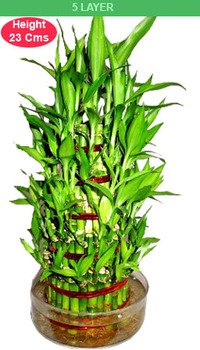 Bamboo Plant 5 Layer (Send Wedding Gifts Unique ideas in india ) - See ...