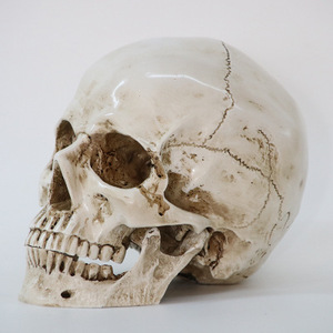 Real Human Skulls For Sale, Wholesale & Suppliers - Alibaba