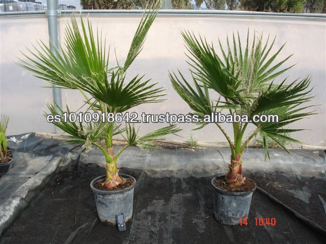 washingtonia robusta quot mexicaine palmier quot usines bois 233 es id de produit 128331189 alibaba