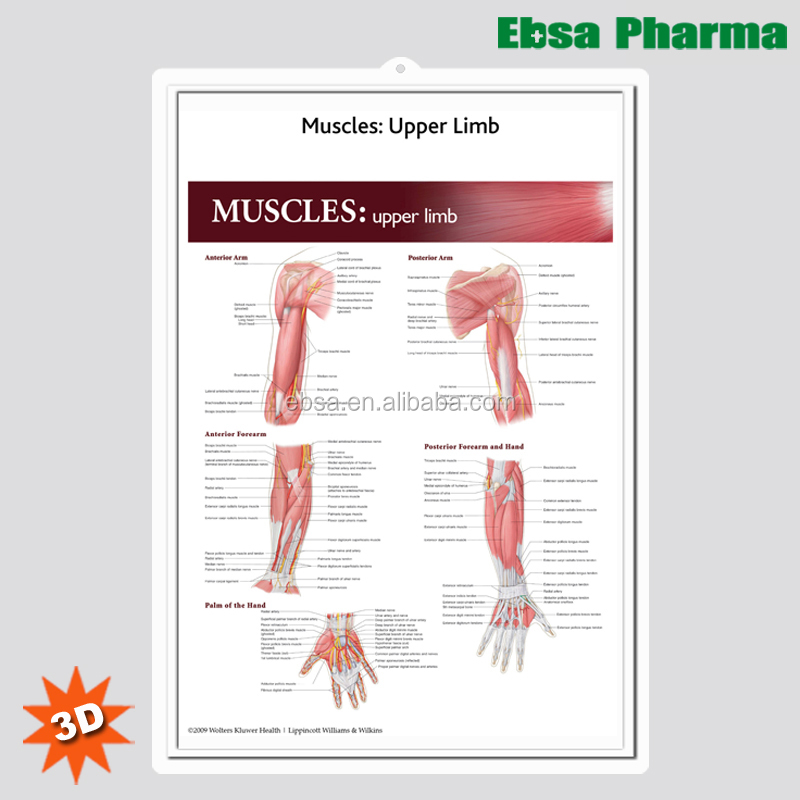 Upper Limb Muscle Upper Limb Muscle Suppliers And Manufacturers At