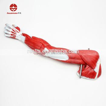 Hm-bd-006 Brazo Humano Modelo Muscular Humano Anatomía Muscular ...
