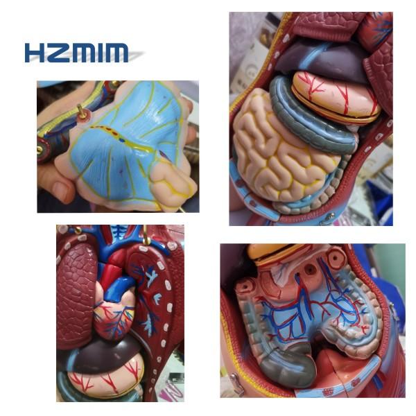 Life-size Medical science anatomical model, Plastic Human Anatomical Model
