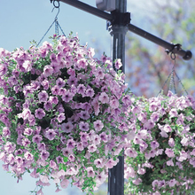 Hanging petunia seed sowing summer and autumn seasons indoor balcony easy to plant flower seeds potted seeds 10 seeds