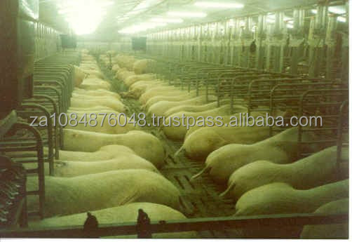Livestock pigs for sale 2015