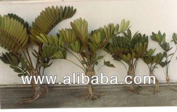 Zamia furfuracea buy zamia product on for Planta ornamental zamia