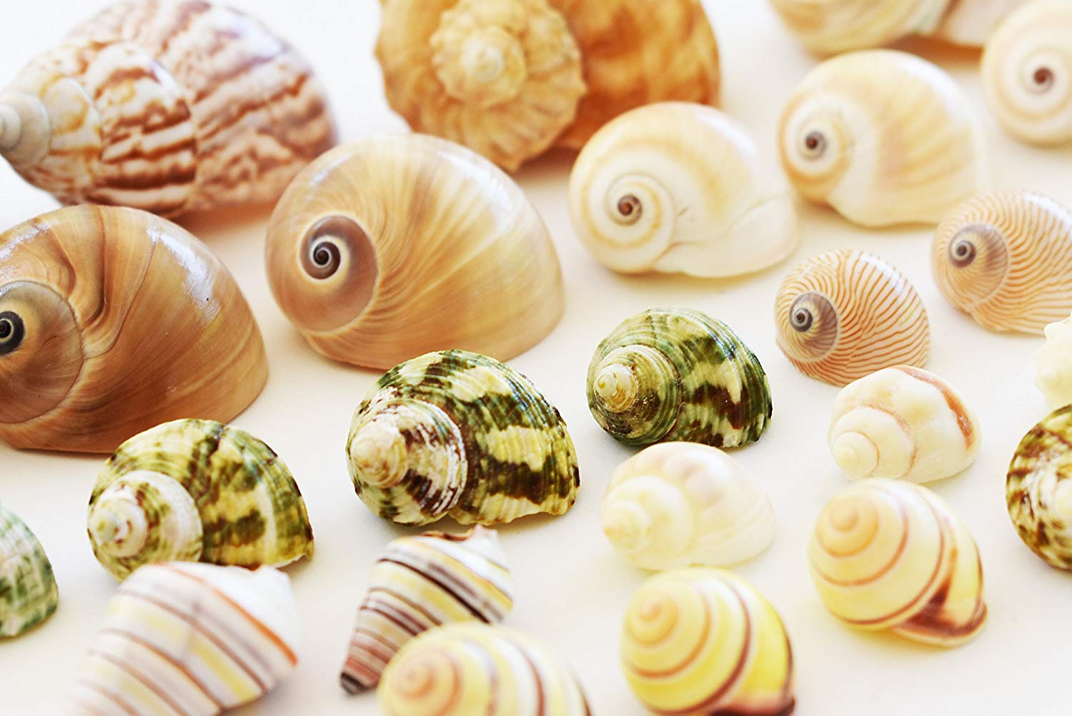 """Florida Shells and Gifts Inc. 25 Shell Hermit Crab Changing Set - Select Shells - Small to Large 1/2""""-1 1/2""""+ opening Sizes - Land Snail, Turbo, Moon, Cornball and Conch Shells"""