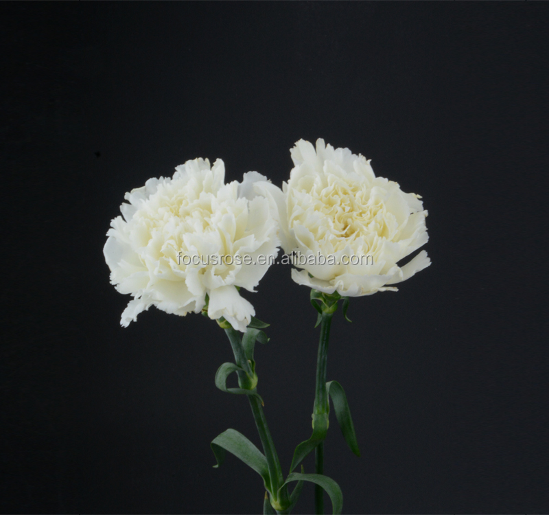 Single Head Cut Fresh Snow White Carnation Flower For Mother\'s Day ...
