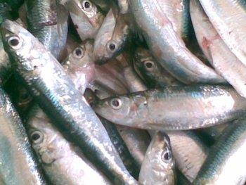 Tamban Minyak/amblygaster Leiogaster - Buy Frozen Fish