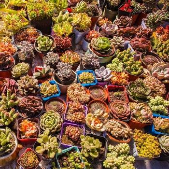 Zhangzhou Nursery Varieties Succulents