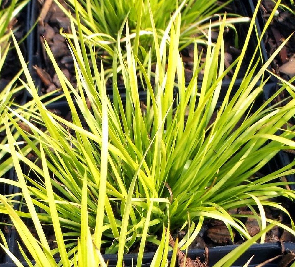 Picture of Live Golden Sweet Flag aka Acorus gram. 'Ogon' Grasses Plant Fit 1 Gallon Pot