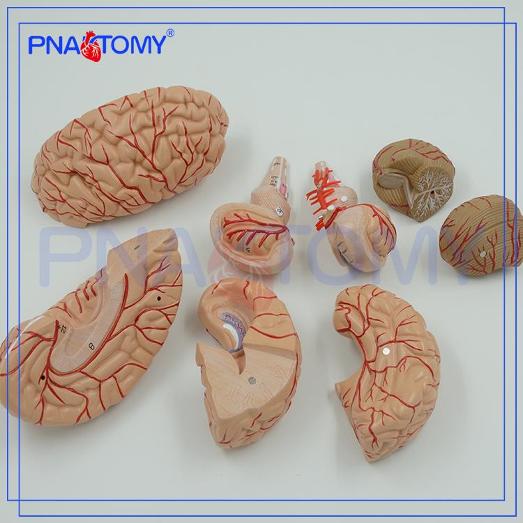 Finden Sie Hohe Qualität Gehirn Modell 3d Hersteller und Gehirn ...