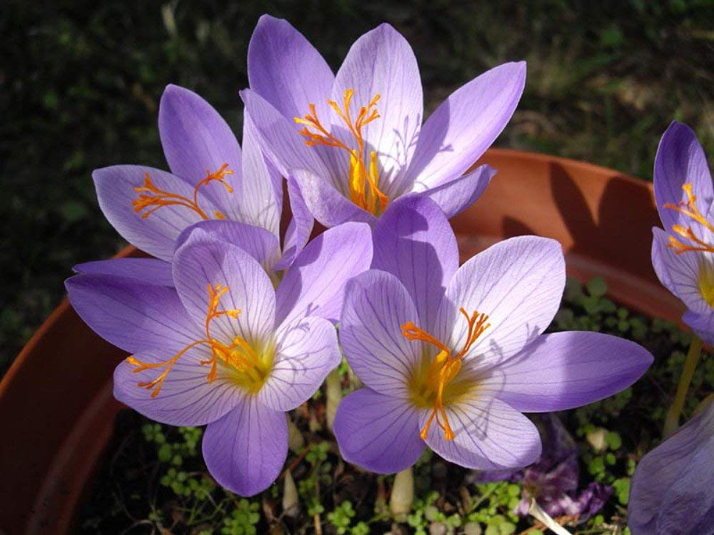 cfb63ac8a20699 Get Quotations · Conqueror Fall Blooming Crocus 10 Bulbs - Very Hardy! -  5-6cm Bulbs