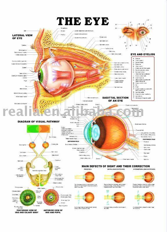Moderno Gráfico De La Anatomía Del Ojo Foto - Anatomía de Las ...