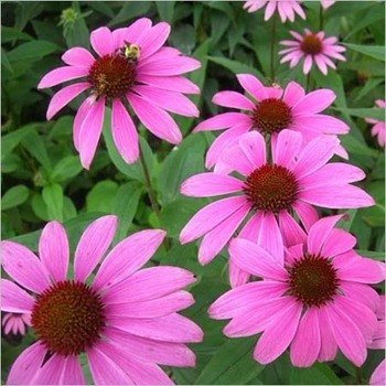 high quality with echinacea purpurea extract