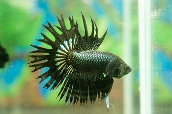 Buy betta fish online uk
