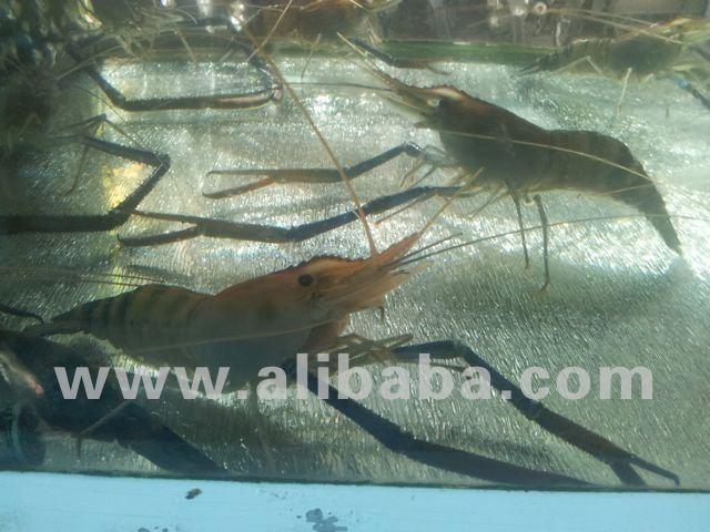 Giant Freshwater Shrimp Macrobrachium Rosenbergii - Buy Giant Freshwater  Shrimp Macrobrachium Rosenbergii Product on Alibaba com
