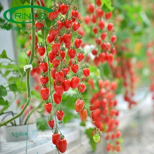Commercial vegetable cherry tomato complete hydroponic systems for sale