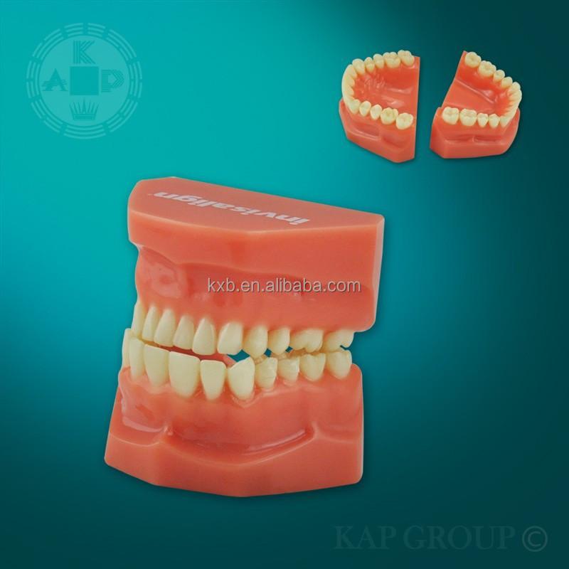 Education Equipment Dental Model Teeth Anatomy Modelfalse Tooth