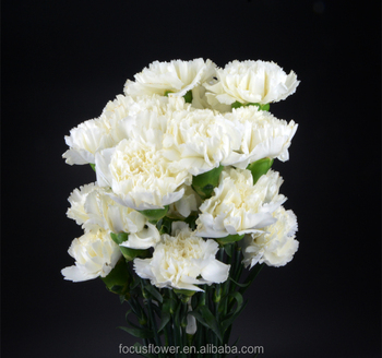 white fresh cut carnation flower high quality snow white carnation