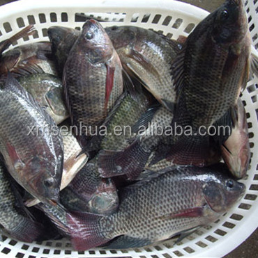 tasty competitive price frozen seafood niloticus tilapia