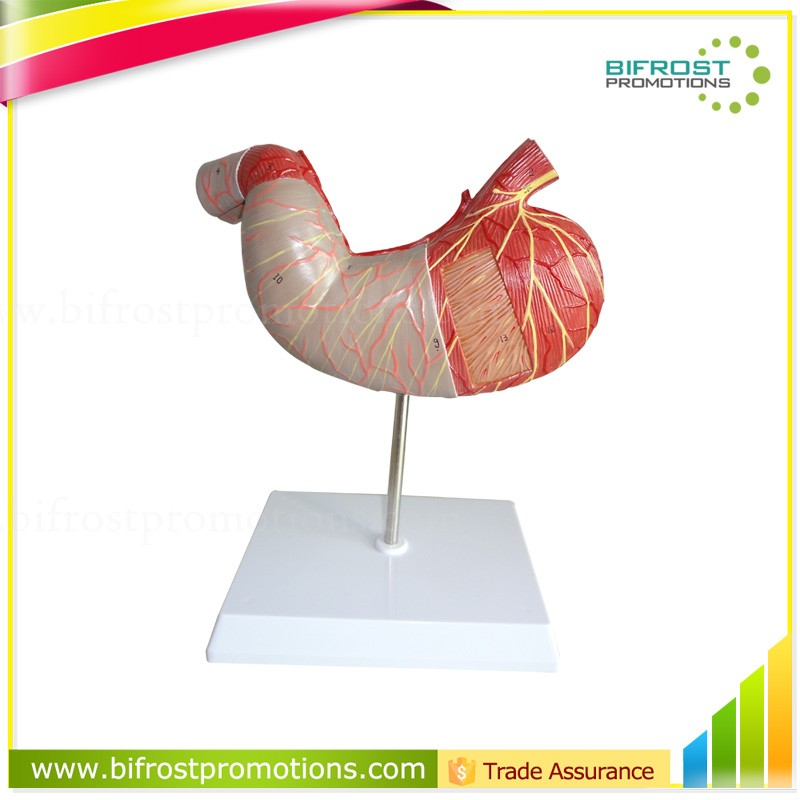 Handmade Medical Human Body Anatomy Stomach Model Buy