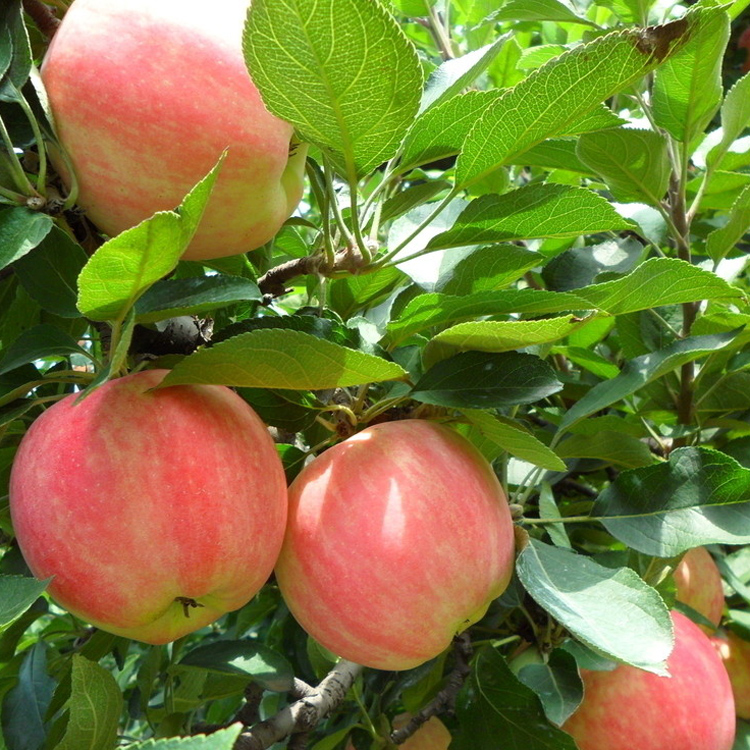 adaptable china supplier kashmir apple