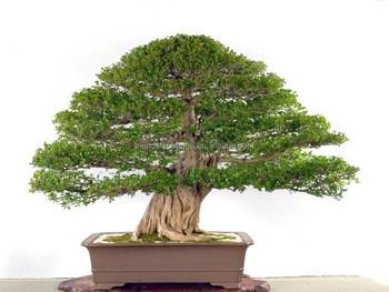 https://sc02.alicdn.com/kf/HTB1BrdVKpXXXXXlXXXXq6xXFXXXF/indoor-outdoor-bonsai-Common-jasmin-Murraya-paniculata.jpg_350x350.jpg