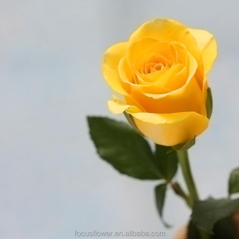 Exportacion De Flores Cortadas Frescas Rosas Naturales Sin