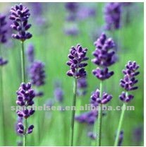 French lavender oil (bulk)