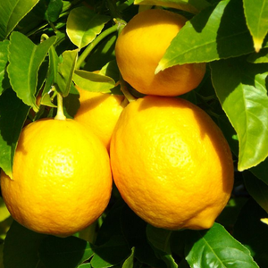 High Quality Natural Lemon Tree Seeds