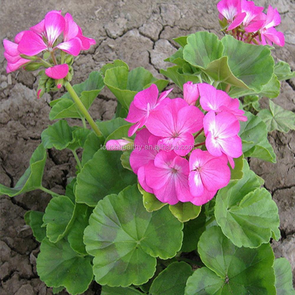 Geranium Flower Seeds, Geranium Flower Seeds Suppliers and ...