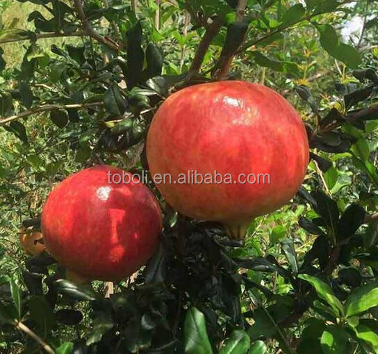 fresh pomegranate exporters in india singapore dubai