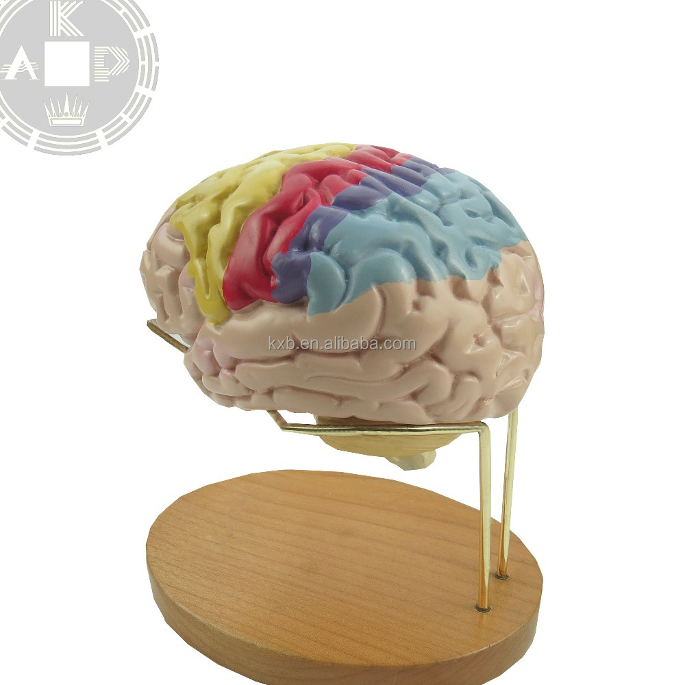 Anatomical Brain Model,Silicone Skull Head Model,Medical Anatomical ...