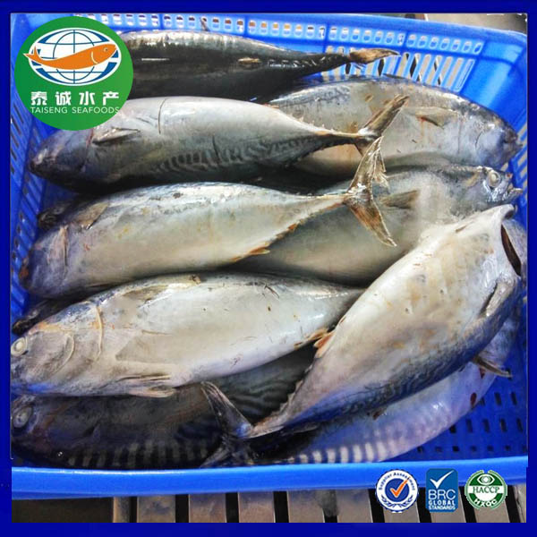 Bonito for frozen seafood importers