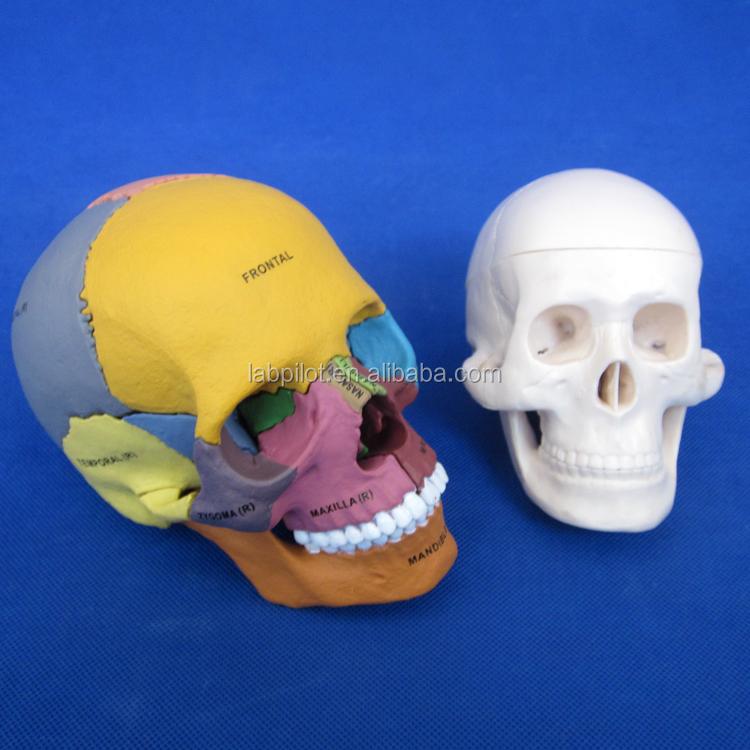 1:2 Colored Skull Model, Assembly Skull Model