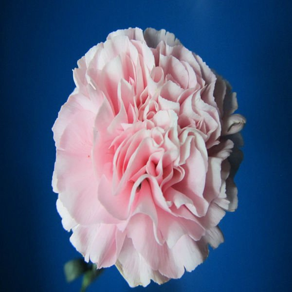 Wholesale Carnation Stem Various Colors Decorative Pink Carnation Flowers